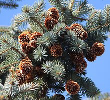Pine Cones by karina5