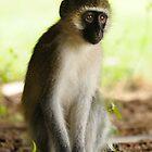 The Stare - Kenyan Monkey by Rhys Herbert