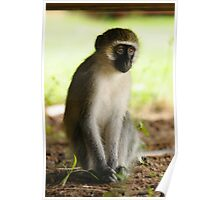 The Stare - Kenyan Monkey Poster