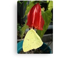 SULPHUR ON LATE HIBISCUS Canvas Print