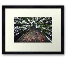 1938 Californian Redwood Sequoia Semplevirus Framed Print
