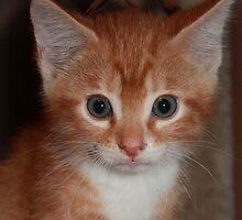 Orange Tabby by DebbieCHayes