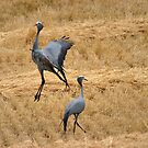 Blue crane dance by Erika Gouws
