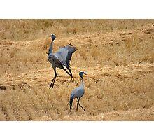 Blue crane dance Photographic Print