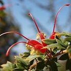 Grevillea tripartita by kalaryder