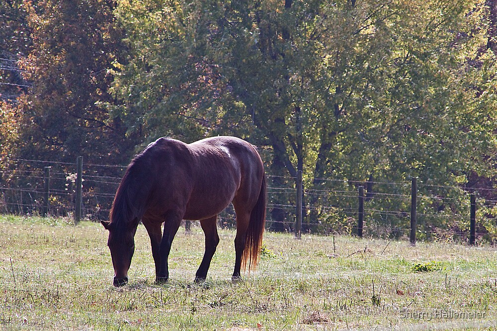 Morgan Horse Grazing on The Grass by Sherry Hallemeier