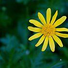 Another Daisy by Sam Matzen