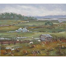 Salt Marsh Sheep Photographic Print