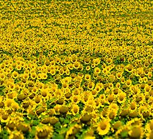 thousands of sunflowers on a sunbath by David Osuna