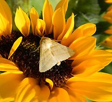 Moth and Sunflower Buffet  by Warren  Thompson