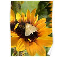 Moth and Sunflower Buffet  Poster