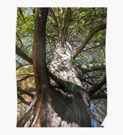 Bald Cypress 3 Poster