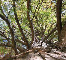 Bald Cypress 4 by dge357