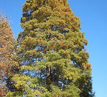 Bald Cypress 13 by dge357