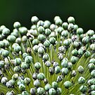 Allium Flower Seeds by Polly Greathouse