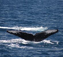 Fluke Up Dive - Humpback Whale by Katie Grove-Velasquez