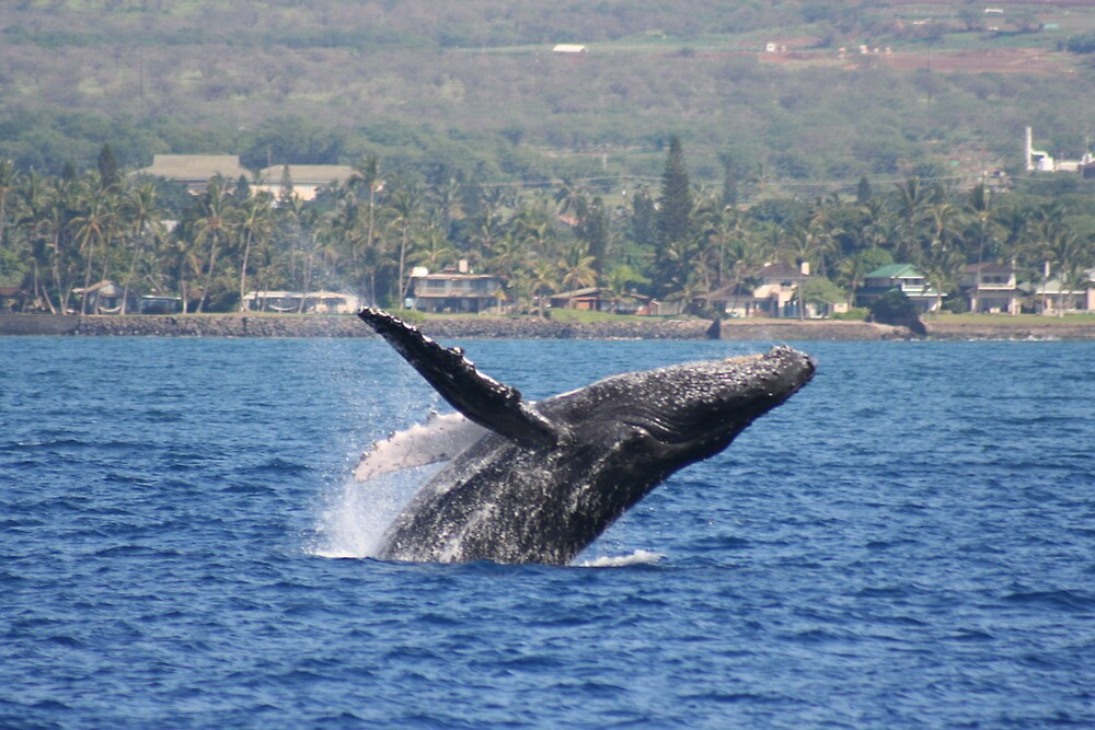 Humpback Breach 1 of 3 by Katie Grove-Velasquez