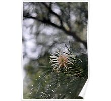 Raindrops on Grevillea Poster