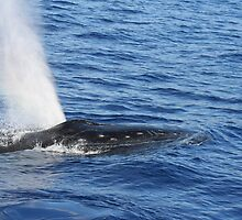 Humpback Whale Powerful Exhalation by Katie Grove-Velasquez