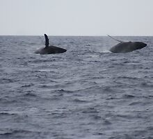 Humpback Twin Breach #2 of 4 by Katie Grove-Velasquez