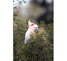 Pink Cockatoo Photographic Print