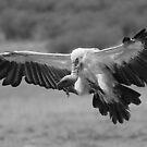 Vulture Landing by Jill Fisher