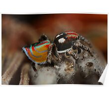 male maratus jumping spider Poster