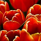 Tulips in my kitchen by Stefan Stuart-Fletcher