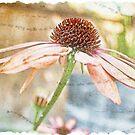 Echinacea by Brenda Boisvert