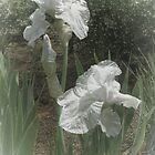 White Iris by Elaine Teague