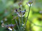dew caught on flower seeds by millymuso