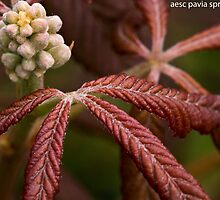 aesculus pavia spring purple by shaun hartley