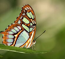 Mighty Malachite Butterfly by Sabrina Ryan