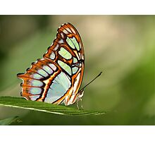 Mighty Malachite Butterfly Photographic Print