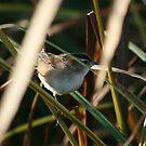 Marsh Wren by eaglewatcher4