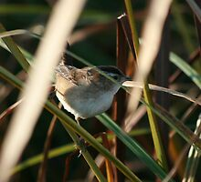 Marsh Wren by eaglewatcher4