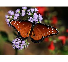 Royal Queen Butterfly Photographic Print