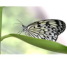 Rockin' Rice Paper Butterfly Photographic Print
