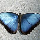 Bluetiful Blue Morpho Butterfly by Sabrina Ryan