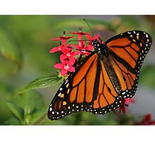Magnificant Monarch Butterfly Photographic Print