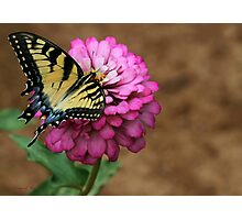 Sultry Swallowtail Butterfly Photographic Print