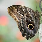 Huge Owl Butterfly by Sabrina Ryan