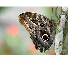 Huge Owl Butterfly Photographic Print