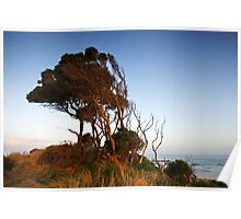 Windswept trees at Anglesea Poster