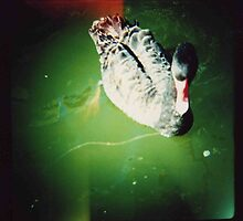 black swan swimming by Sally McColl
