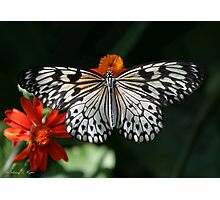 Regal Rice Paper Butterfly Photographic Print