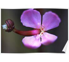 Stylidium graminifolium Poster
