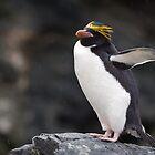 Macaroni Penguin, Cooper Bay, South Georgia by Coreena Vieth