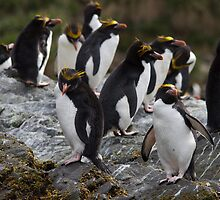 Macaroni Penguin Colony, Cooper Bay, South Georgia by Coreena Vieth