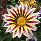 Gazania Flower by Robert Gipson
